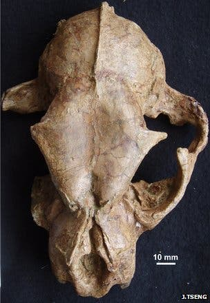 An extraordinarily well preserved Panthera blytheae skull.
