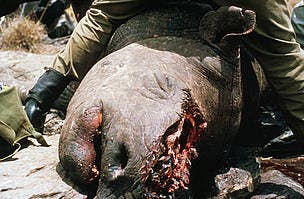 Black Rhinos are often poached and killed for their horns.