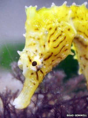 seahorse hunter