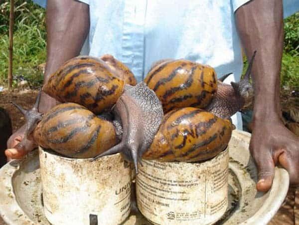 Giant African Snail - invasive species.