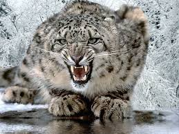 The new big cat species is believed to have been similar to today's modern snow leopard. Image courtesy of snowleopard.in