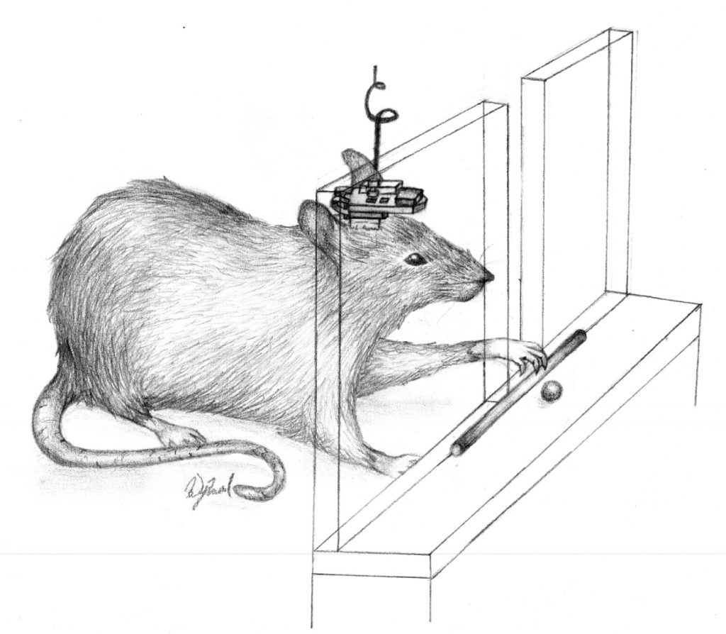 Drawing illustrates  a rat with a BMBI attached to the skull retrieving food. Photo courtesy: Case Western Reserve University