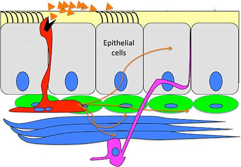 A diagram of the airway lining suggests how the pulmonary neuroendocrine cells (red) trigger a response to inhaled chemicals. When a chemical (orange triangle) docks on a receptor (black) they dump secretory chemicals (thin orange arrows), which have an immediate but localized effect on muscles (blue) and nerves (pink), possibly triggering responses such as a cough. Copyright: Ben Sahar.