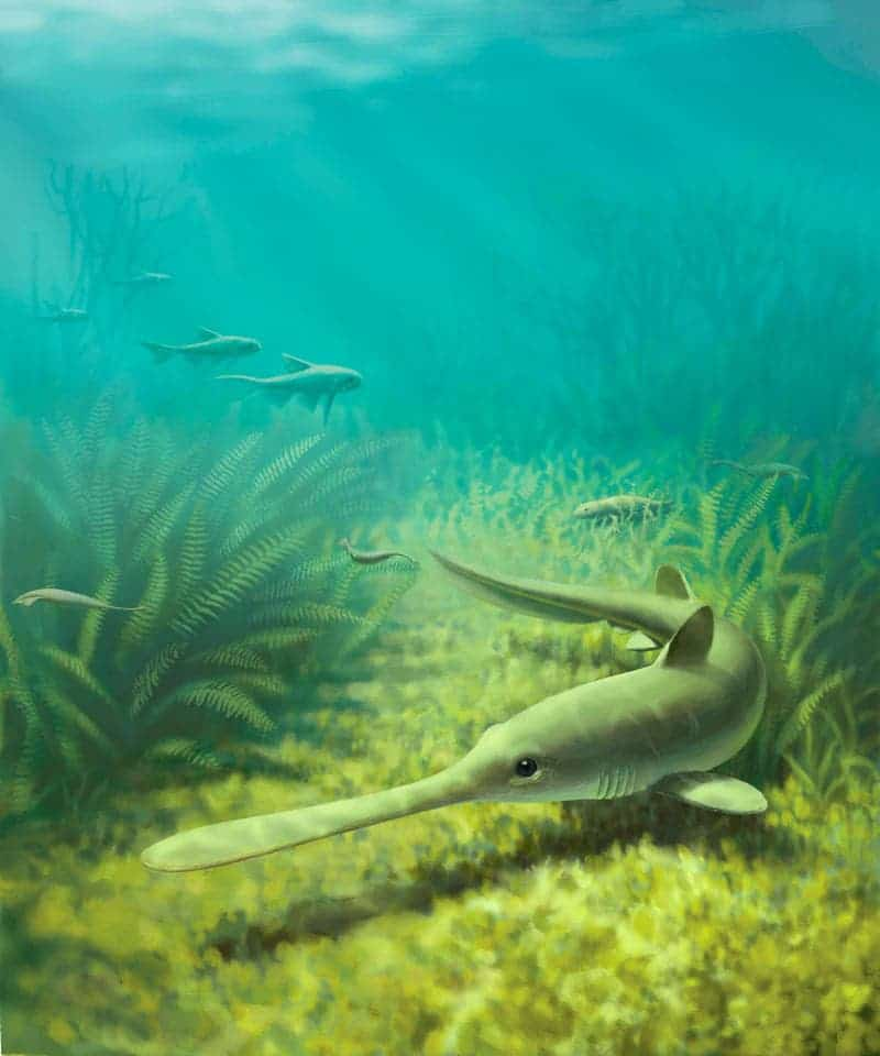 bandringa shark