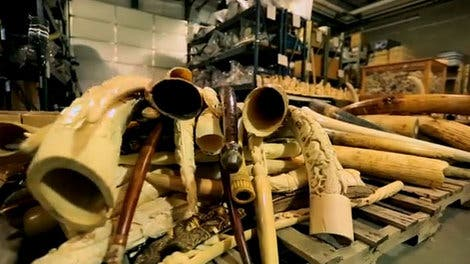 Some of the ivory crushed by the U.S. government in November 2013. USFWS / YouTube