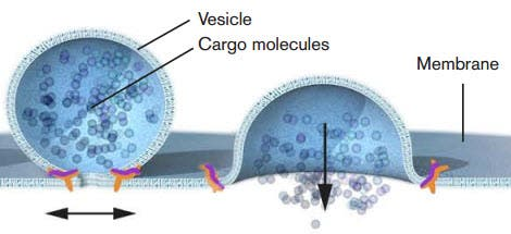 Nobel laureate James E. Rothman discovered that a protein complex (pictured in orange) enables vesicles to fuse with their target membranes. Proteins on the vesicle bind to specific complementary proteins on the target membrane, ensuring that the vesicle fuses at the right location and that cargo molecules are delivered to the correct destination. (Credit: Mattias Karlén/The Nobel Committee for Physiology or Medicine)