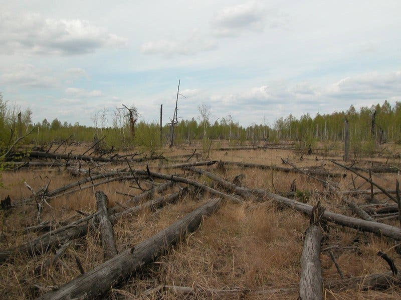 Fallen trees in Chernobyl's Red Forest. Photo: T.A.Mousseau & A.P. Møller