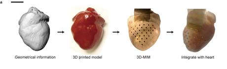 High resolution 3D imaging was used to scan the rabbit's heart and create a mold. (c) NATURE COMMUNICATIONS