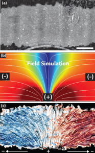 The top image shows a patch of epithelial cells. The white lines in the middle image mark the electric current flowing from positive to negative over the cells. The bottom image shows how the cells track the electric field, with blue indicating leftward migration and red signaling rightward movement (credit: Daniel Cohen)