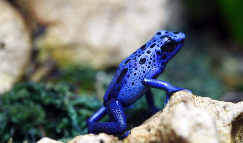 A macro shot of a Blue Poison Dart Frog (Dendrobates Azureus). You wouldn't want to eat this fellow, and its bright colours serve as a warning. (c) MSU