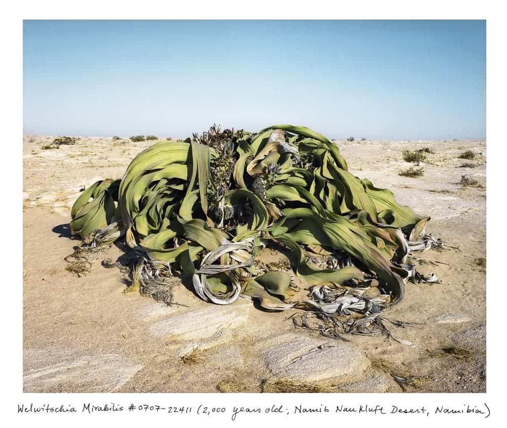 Welwitschia_0707_22411_txt