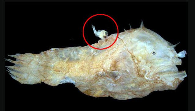 That Thing In The Red Circle Thats Male Image Credits When Scientists First Discovered Angler Fish