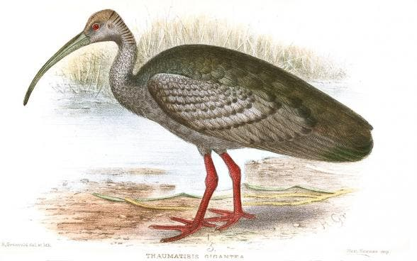 The Giant Ibis (Thaumatibis gigantea) is one of the world's most evolutionarily unique birds, and the most critically endangered. Illustration: Henrik Gronvold