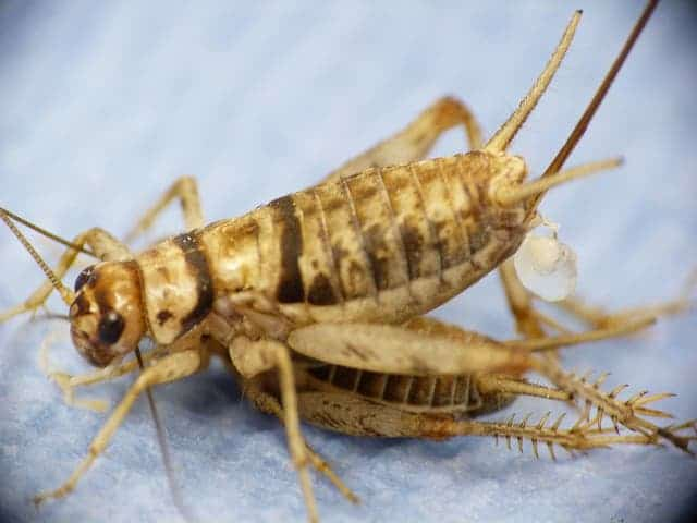 A female decorated cricket, with spermatophore attached, dismounts male. Photo:  tomhouslay.com