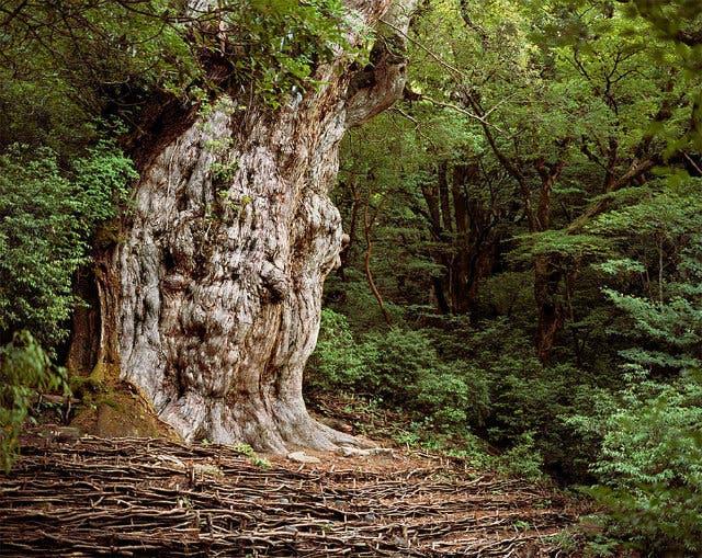 Japanese Cedar tree. 2,180-7,000 years old.
