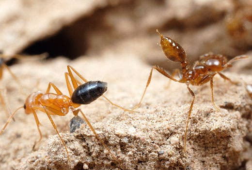 Harpegnathos saltator ants undergo dramatic physiological changes triggered by heightened dopamine levels, following ascension of the colony's social ladder. It's not just in their heads, when these ants climb in their society, they change their bodies as well!