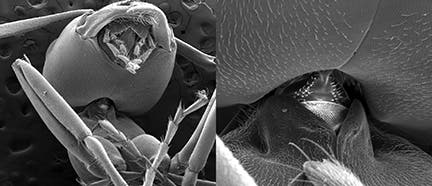 An electron microscope shows the neck region of the Allegheny mound ant. Ohio State University