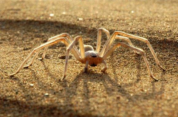 The Moroccan flic-flac spider, Cebrennus rechenbergi. Image credit: Ingo Rechenberg.