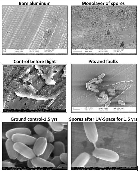 Electron micrographs of Bacillus pumilus SAFR-032 spores on aluminum before and after exposure to space conditions. [Reproduced with permission from P. Vaishampayan et al., Survival of Bacillus pumilus Spores for a Prolonged Period of Time in Real Space Conditions. Astrobiology Vol 12, No 5, 2012.] Image Credit:  P. Vaishampayan, et al./Astrobiology