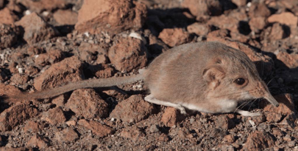 The newfound elephant shrew, Macroscelides micus. Dumbacher et al / Journal of Mammology