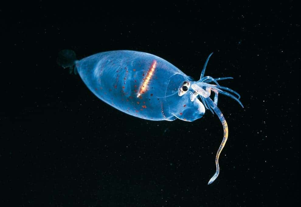 Awesome Animals: The Piglet Squid