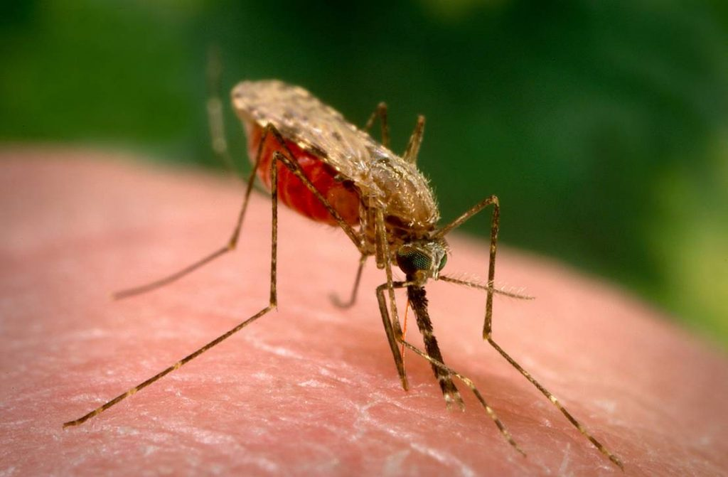 The Anopheles gambiae is the prime transmitter of malaria. A new genetic method manipulates mosquito populations so that only females are bred. The result is colony collapse and no more malaria. Photo: nd.edu