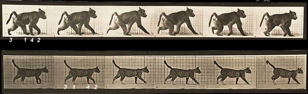 Comparison of footfall sequence in primate (baboon, above) and nonprimate (cat, below). Footfall sequence is depicted numerically, beginning with the right hind limb in each animal. The primate is walking in diagonal sequence (RH-LF-LH-RF), and the nonprimate is walking in lateral sequence (RH-RF-LH-LF). Image from Muybridge E (1887) . Animal Locomotion: An Electro-photographic Investigation of Consecutive Phases of Animal Movements, 1872-1885: 112 Plates. Published under the auspices of the University of Pennsylvania.