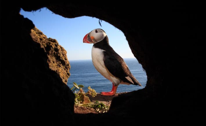 Atlantic puffins live in cliffs along the Atlantic during summer time. Their colonies have been steadily vanishing. Photo: CYRIL RUOSO, MINDEN PICTURES/CORBIS