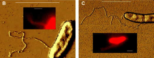 nanowire bacteria