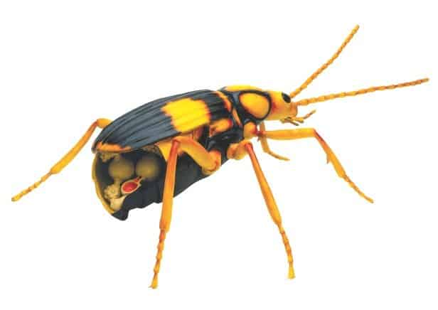 stinky beetle