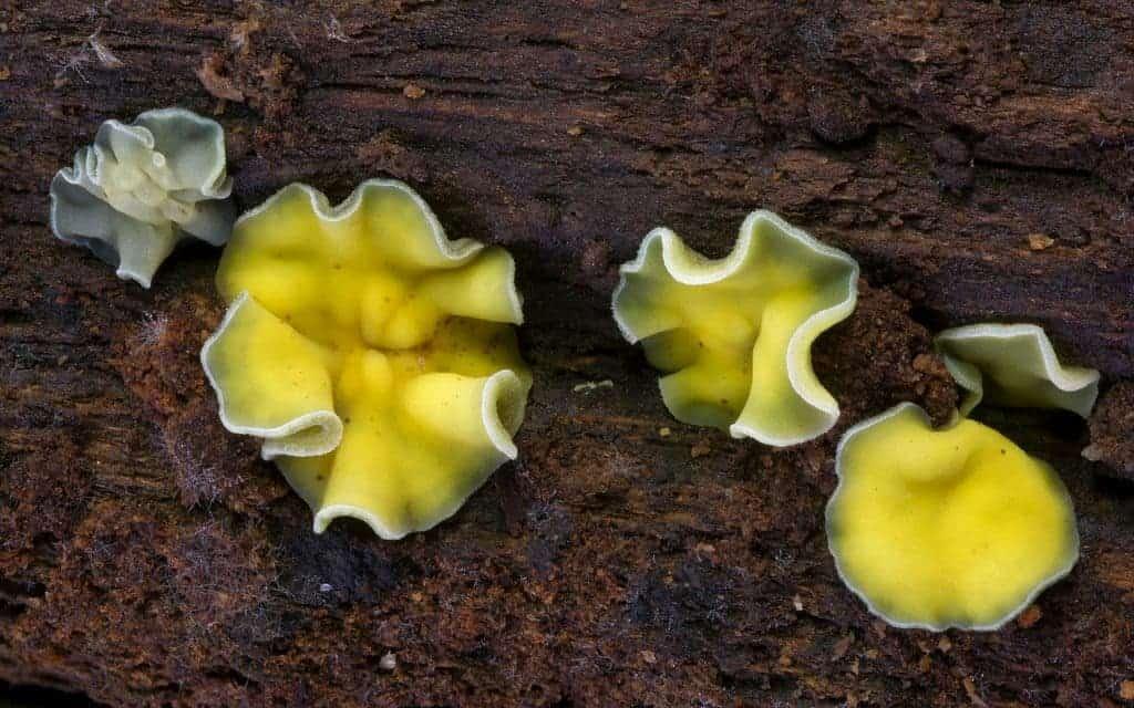 cup mushroom