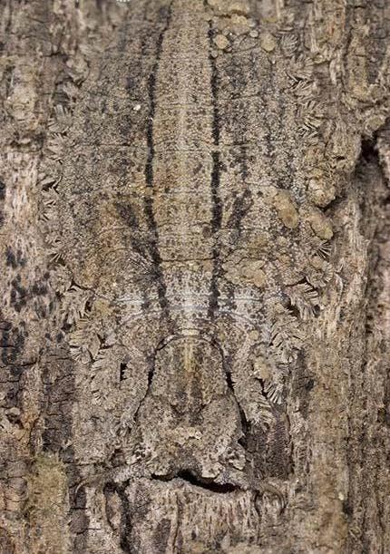 Owl Fly Larva