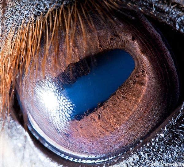 Horse eye.
