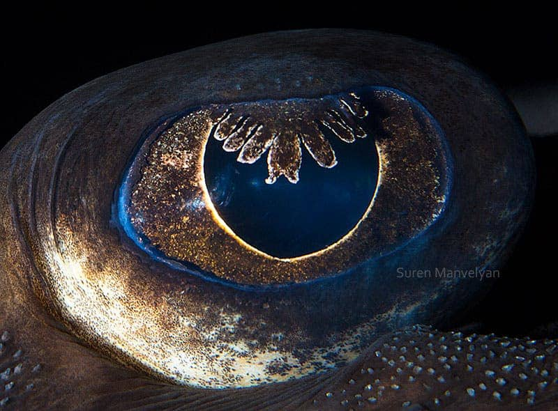 Thornback-ray fish eye