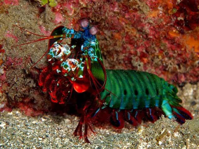 Mantis Shrimp. Image credits: Dave Harasti.