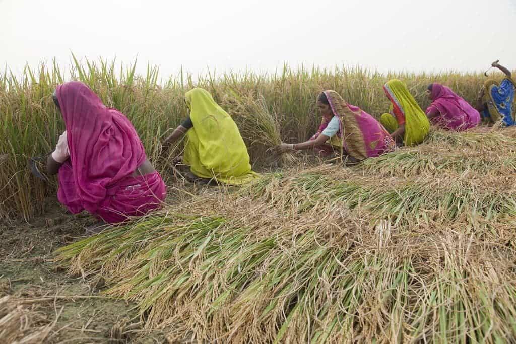smog_wheat_india