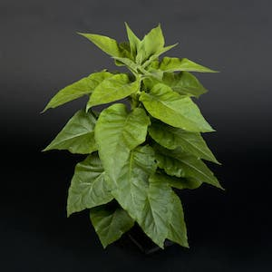 This plant may look like an ordinary tobacco plant, but on the inside it was engineered to express bacteria proteins which helps it perform more efficient photosynthesis. Photo: Rothamsted Research
