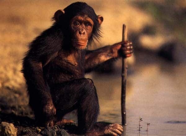 chimp_culture