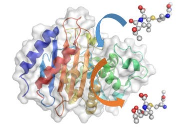 A carbapenem molecule, a last resort antibiotic, enters the carbapenemase enzyme (blue arrow), where the crucial beta-lactam structure gets broken down. The ineffective molecule then leaves (orange arrow). Image: University of Bristol