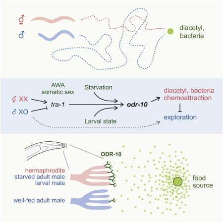 """Adaptive behavioral prioritization requires flexible outputs from fixed neural circuits. In C. elegans, the prioritization of feeding versus mate searching depends on biological sex (males will abandon food to search for mates, whereas hermaphrodites will not) as well as developmental stage and feeding status. Previously, we found that males are less attracted than hermaphrodites to the food-associated odorant diacetyl, suggesting that sensory modulation may contribute to behavioral prioritization,"" the researchers write in Current Biology. Image: Current Biology."