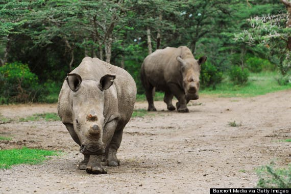 Sudan and Najin, two of the remaining northern white rhinos, at the Ol Pejeta Conservancy in Kenya.