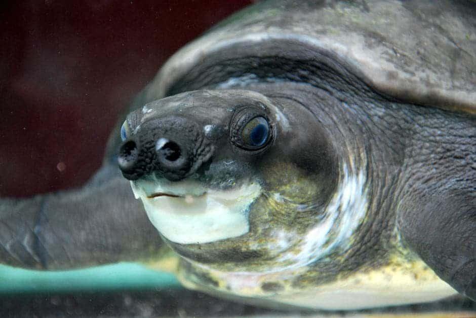 turtle pig