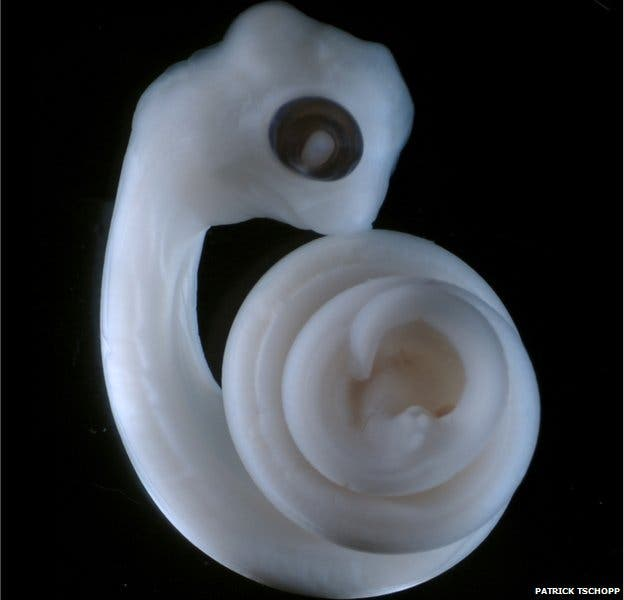The same snake embryo after 11 days, showing the budding hemipenes at the tail end in the centre of the spiral