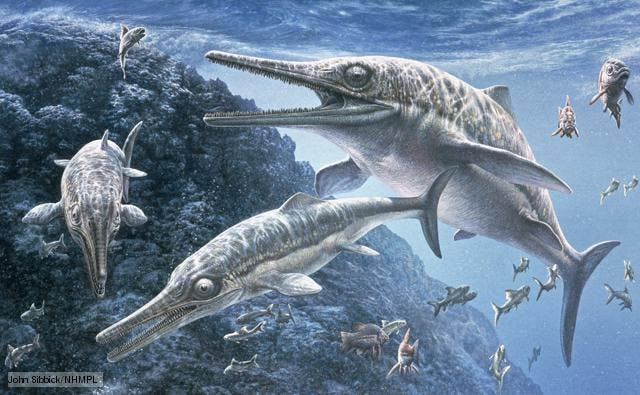 Ichthyosaurs were predatory marine reptiles that swam the world's oceans while dinosaurs walked the land. They appeared in the Triassic period, dying out around 25 million years before the extinction event that wiped out the dinosaurs.  much more streamlined, fish-like form built for speed. One species has been calculated to have a cruising speed of 36 km/h. These enormous predators remained at the top of the food chain until they were replaced by the plesiosaurs.