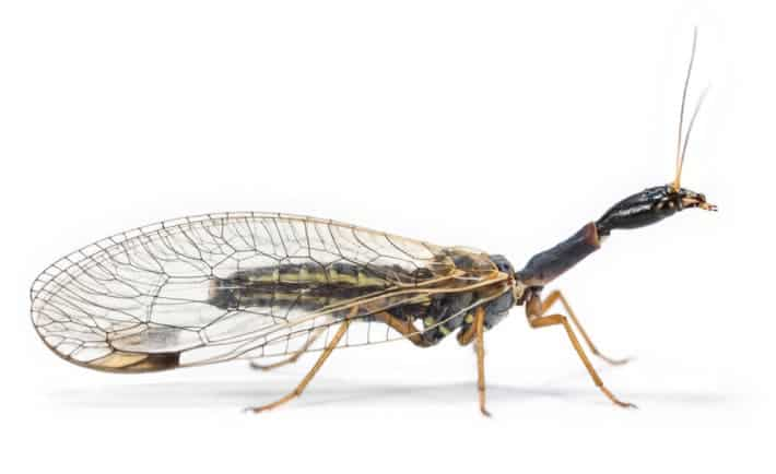 The Snakefly (Dichrostigma flavipes) didn't give up limbs to evolve wings. Credit: Dr. Oliver Niehuis, ZFMK, Bonn