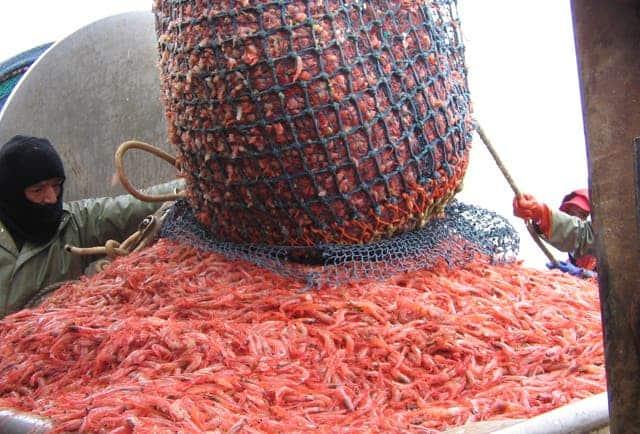 Northern shrimp hauled aboard a shrimp boat. Credit: Wikimedia