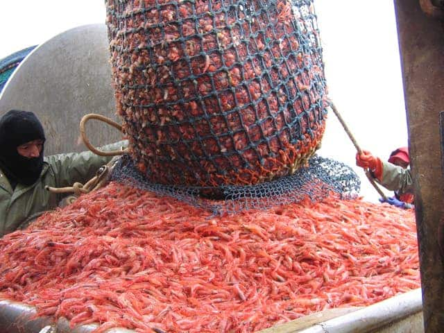 Northern shrimp hauled aboard a shrimp boat. Credit: Wikimedia