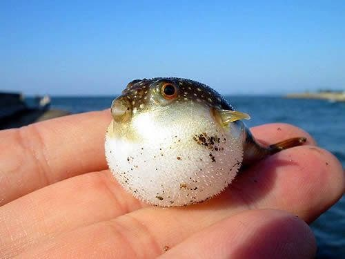 The smallest puffer fish in the world is dwarf puffer fish. The length for this animal is around 22 mm. You can only find the species if you visit River Pamba. It is located in Kerala, India. Image: Flickr