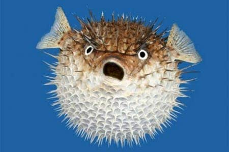 Blowfish inflation