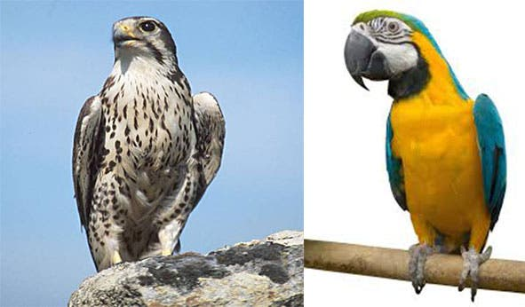 falcons more closely related to parrots than eagles or vultures